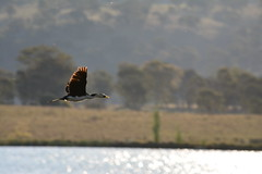 Little Pied Cormorant (Luke6876) Tags: bird animal wildlife cormorant australianwildlife littlepiedcormorant