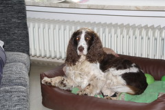 Cosette_389 (leeder-five) Tags: cosette rin pflegehund