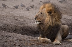 (Steve Segall (aka seagully)) Tags: lion safari botswana stalking okavango savuti