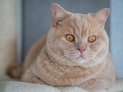 20151127-PB271348 (Sunkissed68) Tags: pet cats animal cat feline katze haustier britishshorthair bkh britishkurzhaar