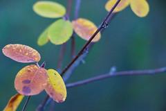 Automne (Alexis Camlay) Tags: automne de couleurs flou champ profondeur feuillage