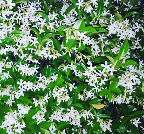 Empezó la época en que la pared emana olor a jazmín #Flowers