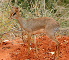 JHG_5834-b Young male Dik-Dik, ankle deep in rich Tsavo dirt, Kenya. (GavinKenya) Tags: africa wild nature animal june john mammal photography gavin photographer kenya african wildlife july grand safari dk naturephotography kenyasafari africansafari 2015 safaris africanwildlife africasafari johngavin wildlifephotography kenyaafrica kenyawildlife dkgrandsafaris africa2015 safari2015 johnhgavin