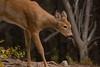 Fawn (Dan738) Tags: park glacier deer fawn national glaciernationalpark monatana