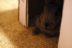 Sherman (Anomieus) Tags: pet cute rabbit bunny bunnies animal furry konijn conejo tail ears rabbits paws coney coelho lapin kaninchen houserabbit coniglio agouti cottontail ウサギ cony kanin кролик królik leporidae nyúl κουνέλι iepure заяц leporid กระต่าย 집토끼 兔子的毛皮 kunić питомен