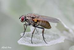 Little fly (alfvet) Tags: macro nikon natura insetti mosche sigma150 parcodelticino veterinarifotografi macroelitecontestwinner