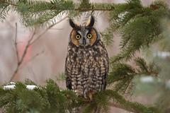 Long Eared Owl (Rob E Twoo) Tags: owl owls nature wildlife birding ontario canada