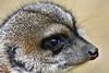 Erdmännchen (Michael Döring) Tags: gelsenkirchen bismarck zoomerlebniswelt zoo jahresausklang2016 erdmännchen meerkats tc14eii afs200500e d7200 michaeldöring