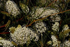 Grevillea leptopoda (andreas lambrianides) Tags: grevillealeptopoda proteaceae threatened westernaustralia grevillea australiaflora australiannativeplants