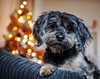 12/12 - Teddy - Merry Christmas! (Kirstyxo) Tags: teddy cute merrychristmas christmastree indoor bokeh 1212 12monthsfordogs 12monthsfordogs16 2016