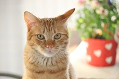 Billy (Claudio_Calcagno) Tags: gatto cat cats gatti pets animali animal red