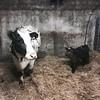 Miss Prim and Noel (362/366) (garrettc) Tags: family farm bullock calf cow ireland 366 365