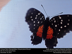 Crimson Patch or Mariposa parche carmesi (Nymphalidae, Chlosyne janais (Drury)) (insectsunlocked) Tags: lepidoptera nymphalidae nymphalinae melitaeini chlosyne chlosynejamais crimsonpatch mariposaparchecarmesi