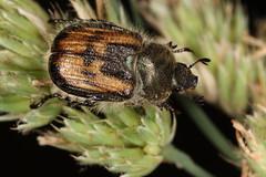 Anisoplia villosa (chug14) Tags: animalia arthropoda hexapoda insecta coleoptera rutelidae rutelinae anisopliini anisopliavillosa