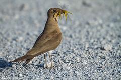 Canastera común Collared Pratincole (Glareola pratincola) (Corriplaya) Tags: corriplaya birds aves canasteracomún collaredpratincole glareolapratincola