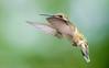 When the days were long... 夏的回忆 (Dahai Z) Tags: backyard birds birdsinflight canonef400mmf4lusm canoneos7dmarkii hummingbird rubythroatedhummingbird summer2016