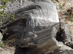 Tronco de Arrayan (imageneslibres) Tags: madera tronco arrayanes verde flora hueco rayas