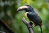 Aracari Posing in the Rain (jeff_a_goldberg) Tags: laquintadesarapiqui pteroglossustorquatus sarapiqui winter costarica naturalhabitatadventures nathab collaredaracari toucan heredia cr