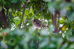 Sparrow (Litratistica Images NYC) Tags: streetphotography trees cold puffy snow winter brooklyn nyc bird green city outdoor nature newyorkcity sparrow fat newyork unitedstates us canoneos5dmk2 canonef70200mm