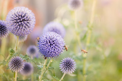 secret life of bees (JimfromCanada) Tags: bee flower garden purple blue echinops ball spike thistle pollen pollinate insect swarm summer peaceful serene soft focus ontario canada warm
