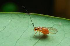 Barkfly (Psocoptera), Singapore (singaporebugtracker) Tags: singaporebugtracker bukittimahnaturereserve barkfly macro potbelly tummy belly orangefly fly booklice beerbelly round bloated swollen