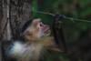 """Striking a Pose"" (hey its k) Tags: capuchin costarica monkey nature whitefacedmonkey wildlife canon6d guanacasteprovince cr tamron 150600mm img9777e"