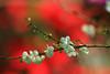 IMG_1557 (Martine.liu) Tags: plum 梅花 烏松崙 聖誕紅背景