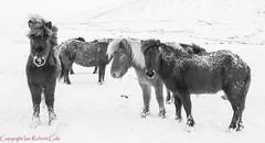 Icelandic horses (ianrobertcole1971) Tags: snow winter cold friendship hardy iceland horses horse icelandic windy wind black white