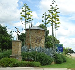Century Plants - Agave Americana (ShilohBlue) Tags: agave agaveamericana sentryplant centuryplant