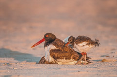 The Day the Earth Stood Still (Kathy Macpherson Baca) Tags: animal animals bird birds ave aves oystercatcher oystercatchers chick mother parent beach sand longisland feathers nature wildlife brood endangered oyster young nest fly flying love earth planet world