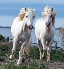 2016 Two Camargue Stallions (36) (maskirovka77) Tags: saintlaurentdaigouze languedocroussillonmidipyrén france languedocroussillonmidipyrénées fr stallion stallions whitehorse whitehorses whitestallion whitestallions createaway photoworkshop