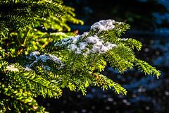 Norway Spruce (Vest der ute) Tags: norwayspruce snow ice norway rogaland haugesund djupadalen winter fav25