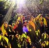 Cold Light on Winter Flora (photo fiddler) Tags: flare sun rhodora wild bush novascotia january 2017 rays