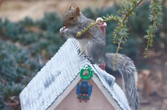 The roof inspector at work! (ineedathis,The older I get the more fun I have....) Tags: storybookhome eating easterngraysquirrel sciuruscarolinensis treesquirrel garden 2016gingerbreadhouse snowman frontentrance atticeyewindow logs log splittier axe steppingstones fence stonefence window decor slate lightposts heart ivyclimber carrot stones eave roof royalicing buttons bricks coal gingerbreadhouse christmas christmastree snow flowers miniature sugarwork modeling baking nikond750 closeup ivy glitter fairytalecottage weepingatlascedar tree ornamentaltree pecans nuts outdoor frontgate gumpaste graysquirrel