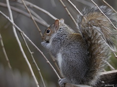 """Eastern Gray Squirrel"" ""Sciurus carolinensis"" (jackhawk9) Tags: easterngraysquirrel sciuruscarolinensis nature wildlife backyardbirding newjersey usa jackhawk9 southjersey canon ngc fantasticnature"