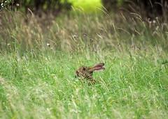 prt (79) (Dinasty_Oomae) Tags: 茨城県 茨城 つくば市 つくば ウサギ 兎 rabbit hare