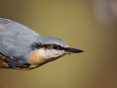 Ned the Nuthatch (DavyMorg) Tags: bird sharp nuthatch gosforth yesterday eye colours orange yellow grey black nut nutty smooth awesome country canon 7d2 100400 explored explore outdoors spring staring beak peepers looking boss nature park friendly photo flickr background blurry 13022017
