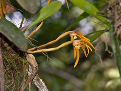 Maxillaria (Eerika Schulz) Tags: maxillaria jardin botanico las orquideas puyo eerika schulz