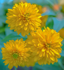 When it's three... (12bluros) Tags: dahlias threeflowers dahlia flowers floral yellow three 3 nybg newyorkbotanicalgarden canonef100mmf28lmacroisusm