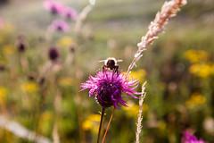 Biene auf einer Diestelblüte
