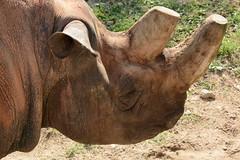 diceros bicornis (Joachim S. Mller) Tags: animal germany mammal deutschland zoo hessen frankfurt rhino rhinoceros frankfurtammain tier blackrhinoceros frankfurterzoo nashorn spitzmaulnashorn rhinozeros sugetier zoofrankfurt dicerosbicornis diceros schwarzesnashorn
