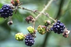 sign of the season (Tony Shertila) Tags: england geotagged europe blackberry cheshire unitedkingdom britain outdoor autumnal ripe runcorn fruite gbr wiggisland brambel merseygateway geo:lat=5334737470 geo:lon=270864487 haltoncastleward