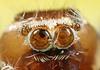 Thyene Imperialis (karthik Nature photography) Tags: color macro nature animals closeup forest garden photography spider spiders wildlife jumpingspider macrophotography salticidae macroworld animalworld spiderworld insectphotography canonmpe65 macrolife thyeneimperialis malejumpingspider canon5dmark3 colorfuljumpingspider beautifuljumpingspider jumpingspidersinindia