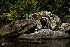 The Raccoon (Saira Bhatti) Tags: vancouver canon geese stanleypark canon60d sairabhatti lionsgatebritish