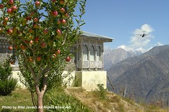 Apple Tree on the top of a Hill in Pakistan- Bilal Javaid