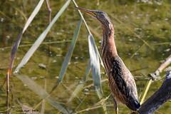 Martinet menut (Enllasez - Enric LLaó) Tags: bird aves pájaros aus ocells 2015 flix sebes avetorillo martinetmenut