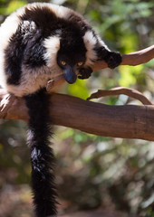 LEMUR-PARK-39 (RAFFI YOUREDJIAN PHOTOGRAPHY) Tags: park city travel trees plants baby white cute green animal fauna canon river jumping sweet turtle wildlife bricks mother adorable adventure explore lemur 5d lemurs bushes madagascar 70200 antananarivo mkiii