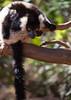 LEMUR-PARK-39 (RAFFI YOUREDJIAN PHOTOGRAPHY) Tags: park city travel trees plants baby white cute green animal fauna canon river jumping sweet turtle wildlife bricks mother adorable adventure explore lemur 5d lemurs bushes madagascar 70200 antananarivo mkiii