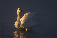 Early Morning Light (Happy Photographer) Tags: park light bird swan wildlife national yellowstone amyhudechek nikon200500f56