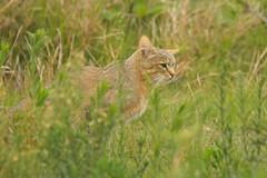 (African) Wildcat in Okavango Delta, Botswana (cirdantravels) Tags: cat kat feline wildcat felis okavangodelta wildekat chatsauvage wildkatze